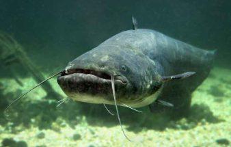 Mehr Schutz für den Fisch des Jahres – Wels